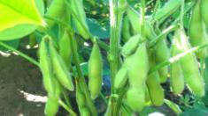 担当者が知っておきたい遺伝子組換え作物の知識